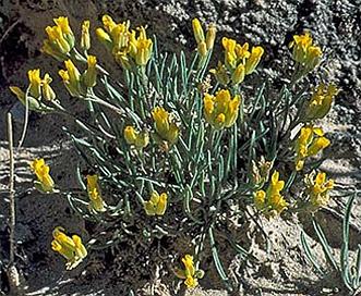 Physaria parvula
