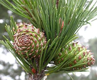 Pinus muricata