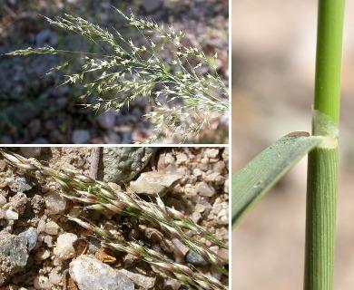 Piptatherum miliaceum