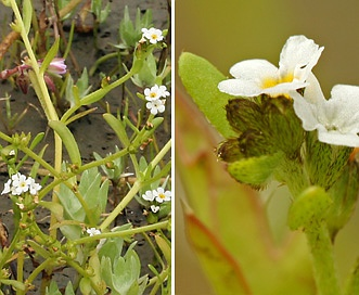 Plagiobothrys undulatus