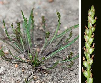 Plantago heterophylla