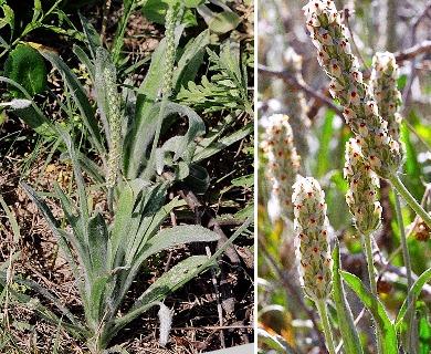 Plantago hookeriana
