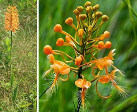 Platanthera ciliaris