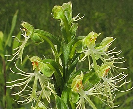 Platanthera lacera