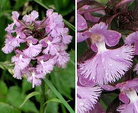 Platanthera psycodes