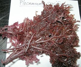 Plocamium pacificum