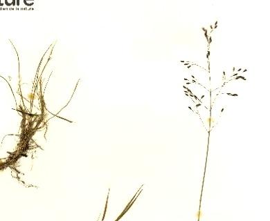 Podagrostis aequivalvis