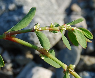 Polygonum fowleri
