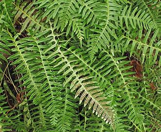 Polypodium appalachianum