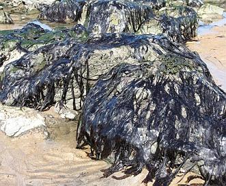 Porphyra umbilicalis