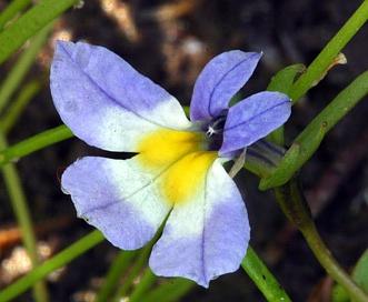 Porterella carnosula