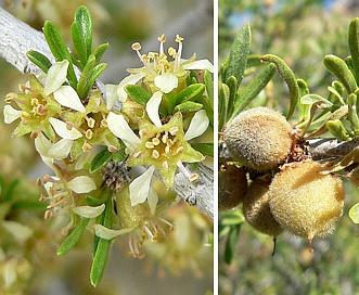 Prunus fasciculata