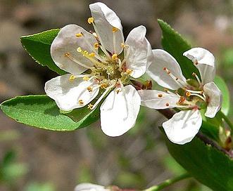 Prunus subcordata