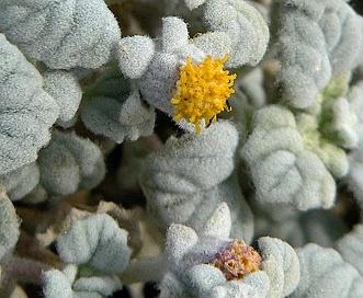 Psathyrotes ramosissima