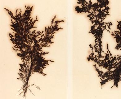 Pterosiphonia bipinnata