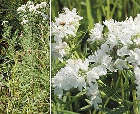 Pycnanthemum virginianum