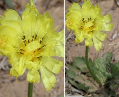 Pyrrhopappus grandiflorus
