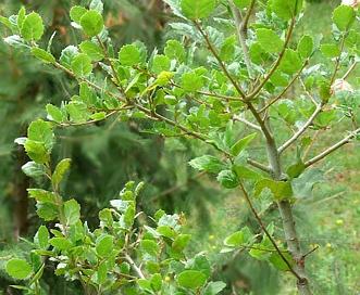 Quercus X macdonaldii
