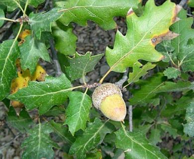 Quercus X morehus