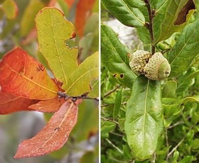 Quercus chapmanii