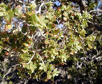 Quercus cornelius-mulleri
