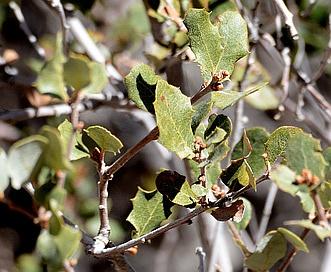 Quercus dumosa