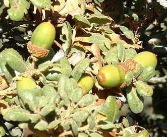 Quercus durata