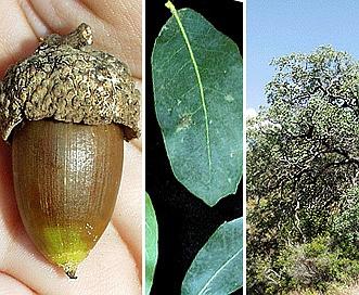 Quercus engelmannii