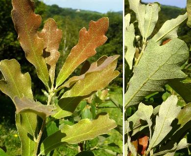 Quercus mohriana