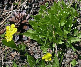 Ranunculus alismifolius
