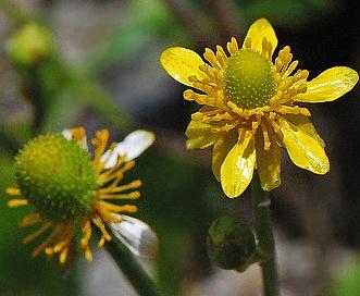 Ranunculus cardiophyllus