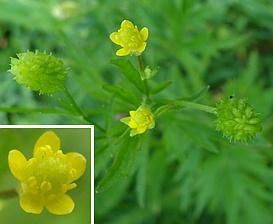 Ranunculus pensylvanicus