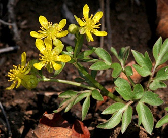 Ranunculus ranunculinus