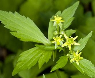 Ranunculus recurvatus