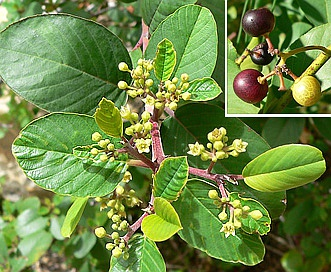 Rhamnus betulifolia