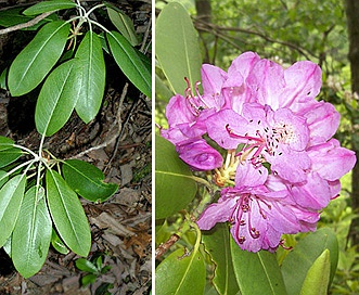 Rhododendron catawbiense
