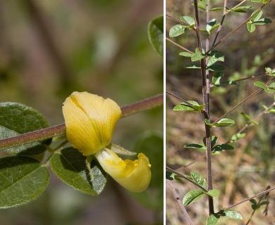 Rhynchosia cytisoides