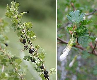 Ribes leptanthum