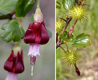Ribes roezlii
