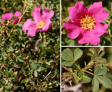 Rosa stellata