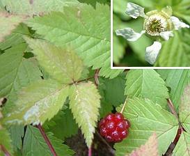 Rubus pubescens