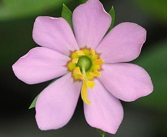Sabatia calycina