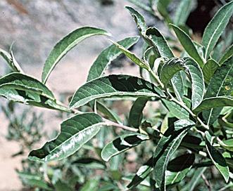 Salix breweri