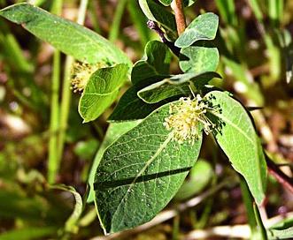 Salix pedicellaris