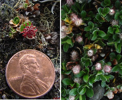 Salix rotundifolia