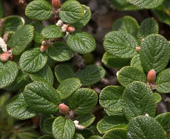 Salix vestita