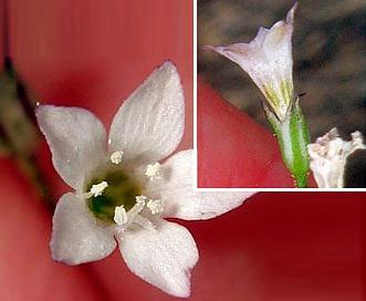 Saltugilia australis
