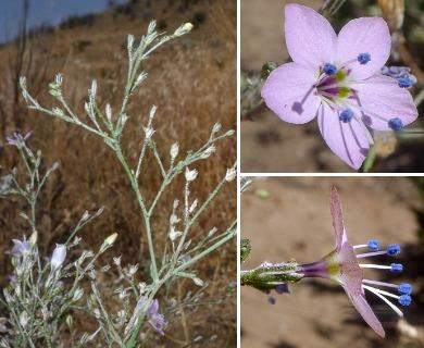Saltugilia caruifolia