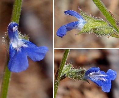 Salvia misella
