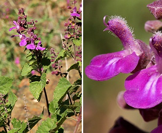 Salvia pinguifolia